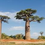 route vers l'allée des baobabs