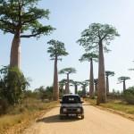 paysage allée des baobabs
