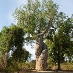 Le Baobab amoureux
