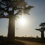 baobab vers Belo sur Tsiribihina