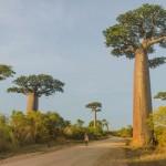 paysage de l'allee des baobabs